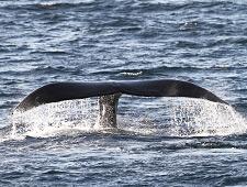 Spot zelf enkele walvissoorten vanop het schip tijdens de safari