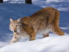 In het Wildlife Park ziet u zeldzame dieren zoals de lynx