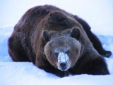 We krijgen een rondleiding en maken kennis met de verschillende dieren die in Lapland leven maar die u zelden zal te zien krijgen in de natuur
