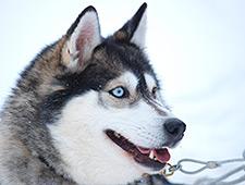 Na afloop is er voldoende tijd om foto's te nemen bij de Siberische husky's